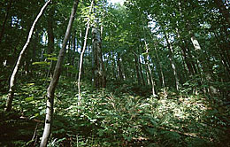 Beech forest on the Lausche slope